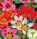 20 SPARAXIS SUMMER FLOWER BULBS-PERENNIAL