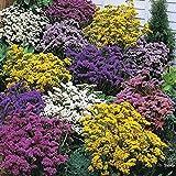 0.2g (appr.80) statice seeds LIMONIUM SINUATUM the colorful plants Dried boquets