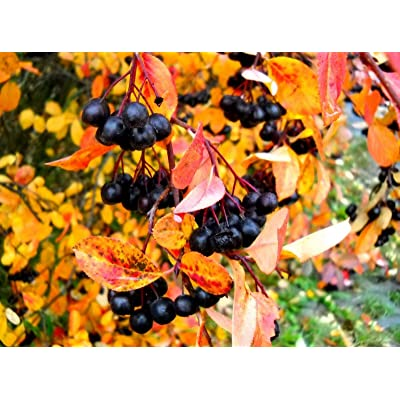 Black Chokeberry Shrub - Healthy Established Rooted - 1 Plant in 2 Gallon Pot from Grandiosy Farm : Garden & Outdoor