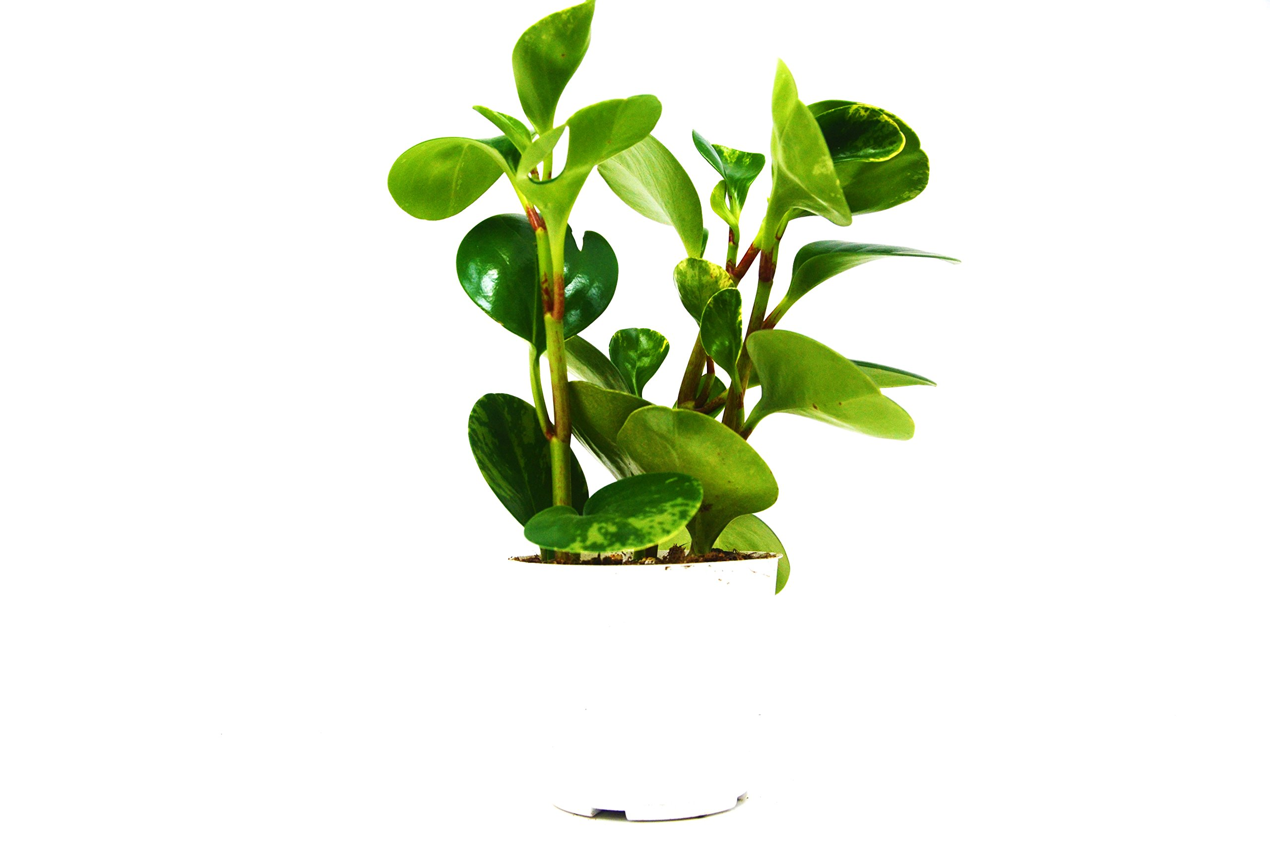 Peperomia 'Ginny' in 4'' Pot - Live House Plant - FREE Care Guide