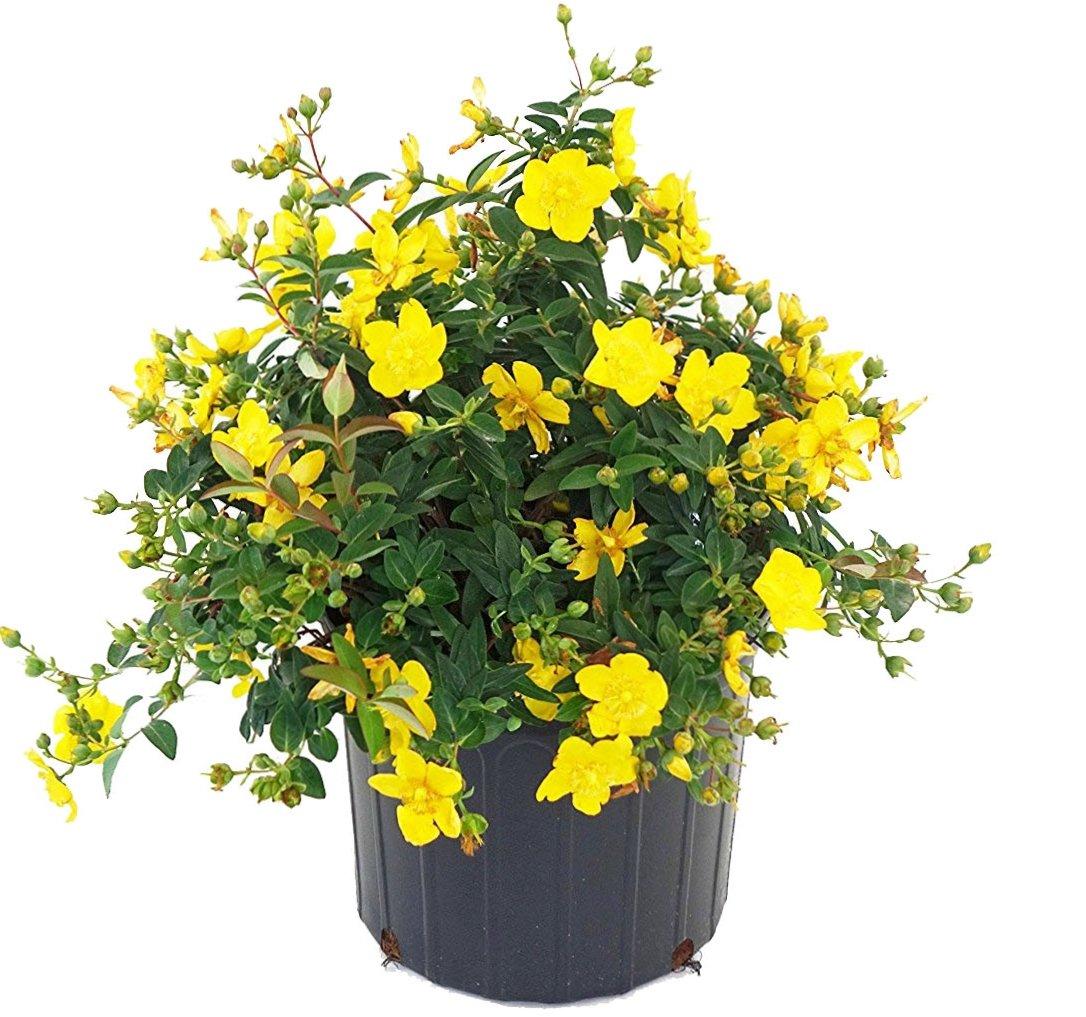 Hypericum patulum 'Hidcote' (St. Johns Wort) Shrub, yellow flowers, #3 - Size Container
