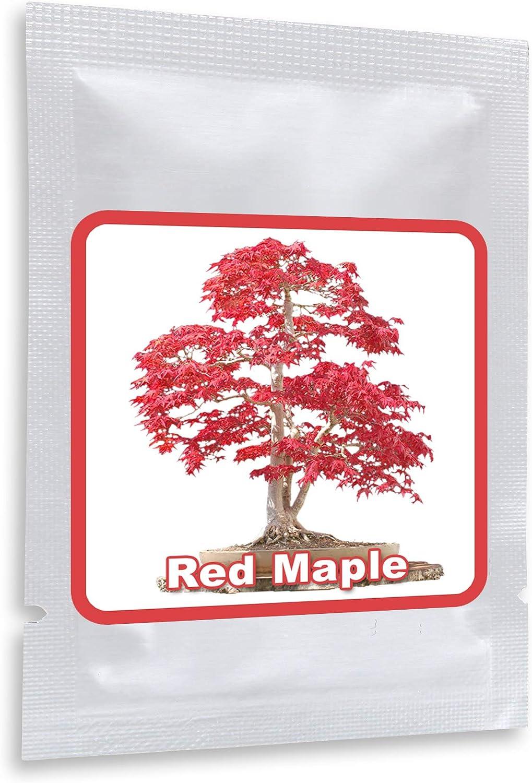 20 Semillas rojo Arce Japonés - (Acer palmatum atropurpureum) - Puede ser cultivado como árbol o como bonsái