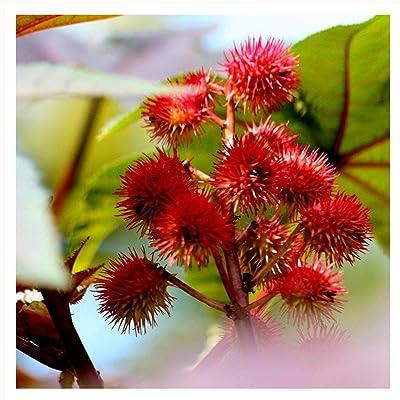 50 Ricinus Communis Red Leaf Castor Bean Seeds : Garden & Outdoor