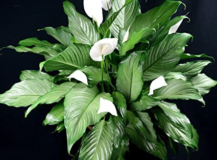 Maliagarden Live Peace Lily Spathiphyllum Indoor Plants White