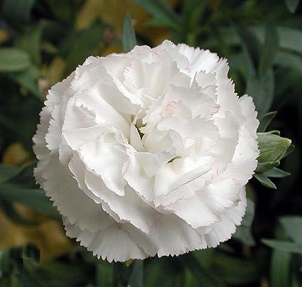 Amazon 50 white carnation caryophyllus grenadin flower seeds 50 white carnation caryophyllus grenadin flower seeds comb sh mightylinksfo