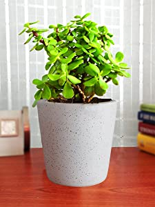 Rolling Nature Good Luck Live Jade Plant in White Bucket Dew Ceramic Pot
