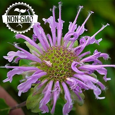 Gaea's Blessing Seeds - Organic Wild Bergamot Seeds 400+ Non-GMO Seeds Open-Pollinated Monarda Fistulosa, 94% Germination Rate : Garden & Outdoor