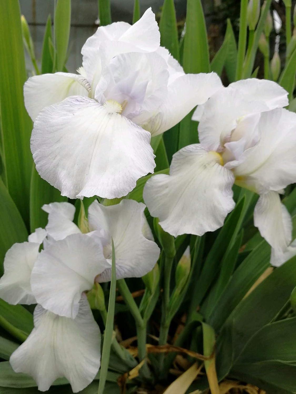 5 IRIS RHIZOMES PURPLE WHITE BULBS PERENNIAL FRAGRANT PLANT FLOWER LONG BLOOM