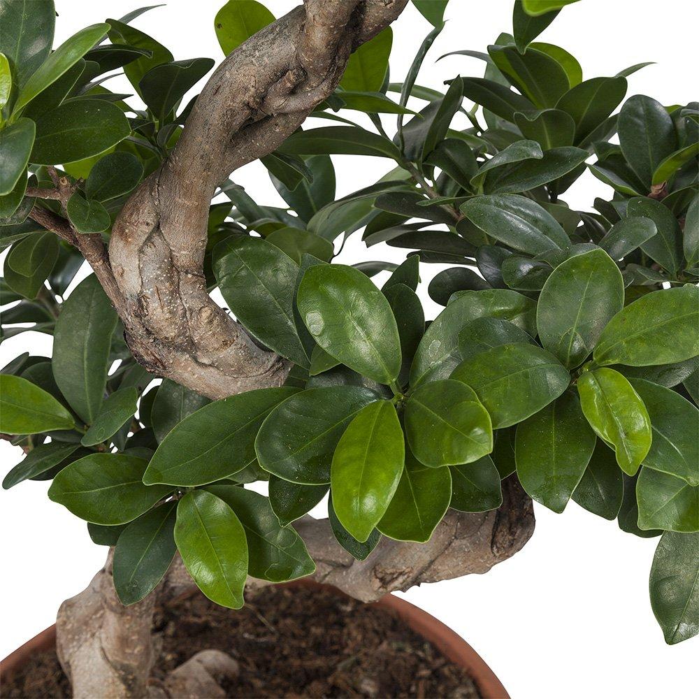 Ficus Ginseng Zimmerpflanze Ficus Ginseng Bonsai mit verzweigten Wurzeln mit /Übertopf als Set BOTANICLY H/öhe: 50 cm