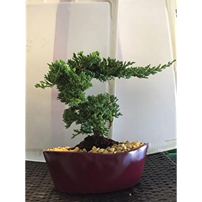 Indoorbonsaiandexotics Beginner Juniper Styled Bonsai Tree.: Kitchen & Dining