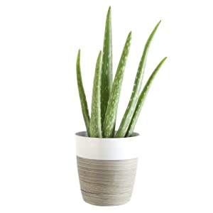 Costa Farms Aloe Vera Live Indoor House Plant, 10-Inch, White-Natural Planter