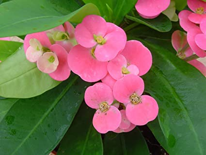 Amazon pink crown of thorns plant euphorbia 5 pot pink crown of thorns plant euphorbia 5quot mightylinksfo