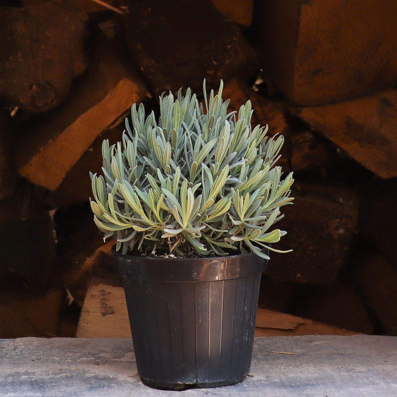Palatina Werkstatt /® Lavande v/éritable Pot Fleurs parfum/ées Vert persistant Lavandula angustifolia