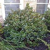 "'Blue Prince' Holly - Ilex - Hardy Broadleaf Evergreen - 4"" Pot"