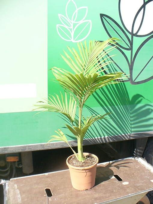 Archonto Phoenix - Palmera - archontophoenix alexandrae, Alexander Palmera: Amazon.es: Jardín