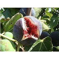 """Fico Ficus Carica """"Babits rosso-marrone fruited varietà, molto freddo tollerante architettonici, piante e gustoso frutta per coltivare Fig Mediterraneo Starter Plant"""