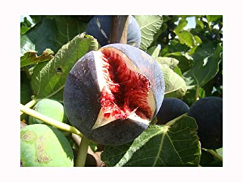 Fig Tree Ficus Carica Babits Red Brown Fruited Variety Very Cold