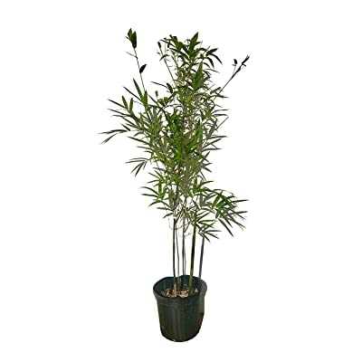Graceful Bamboo - Slender Weavers - Textilis Gracilis - Live Plant - Fast Growing Evergreen Privacy Hedge : Garden & Outdoor