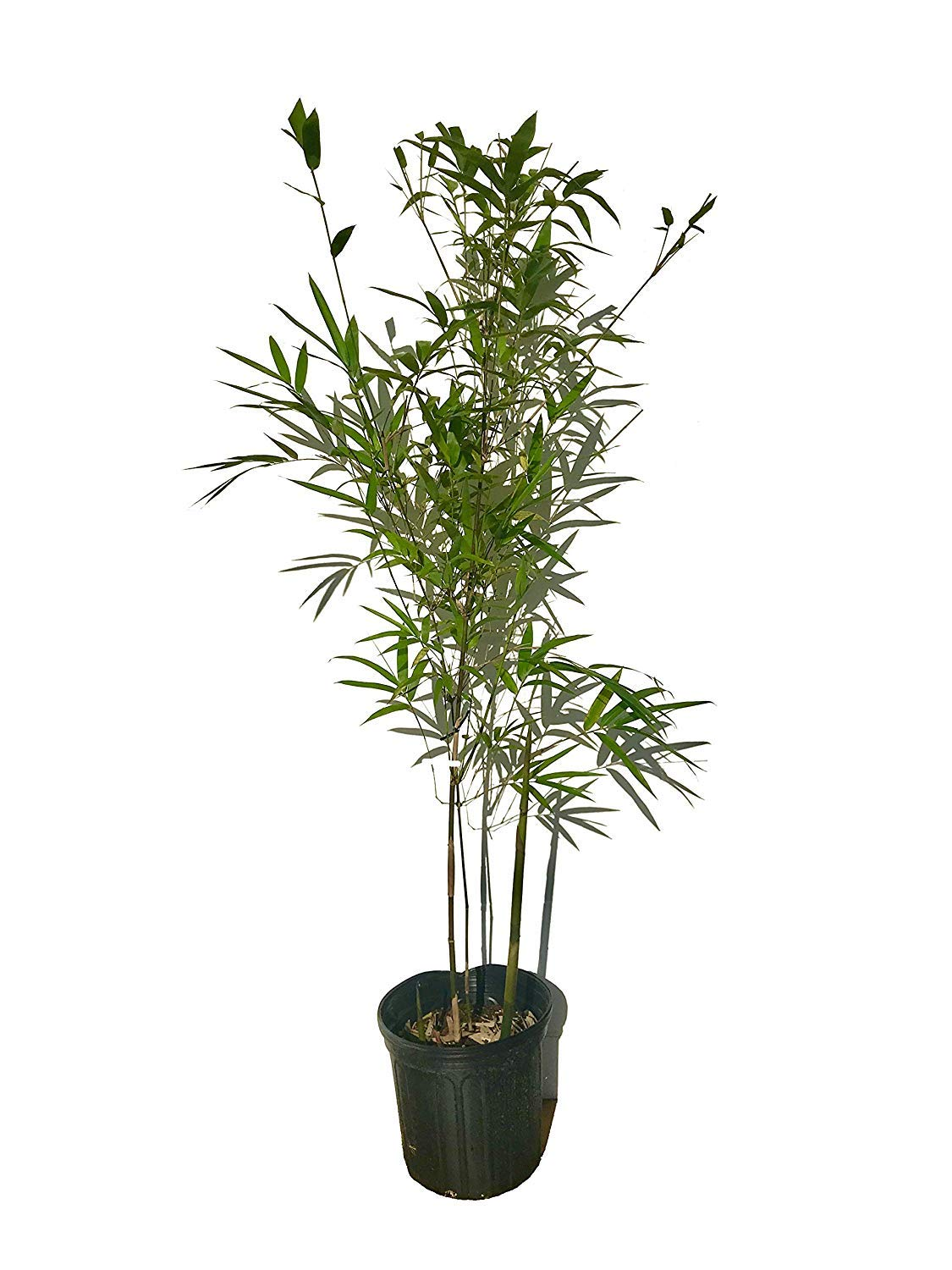 Graceful Bamboo - Slender Weavers - Textilis Gracilis - Live Plant - Fast Growing Evergreen Privacy Hedge by Florida Foliage (Image #1)