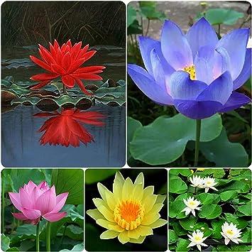 Hudgle Lotus Flower Seeds Pack Of 15 Seeds Garden Lotus Flower 5