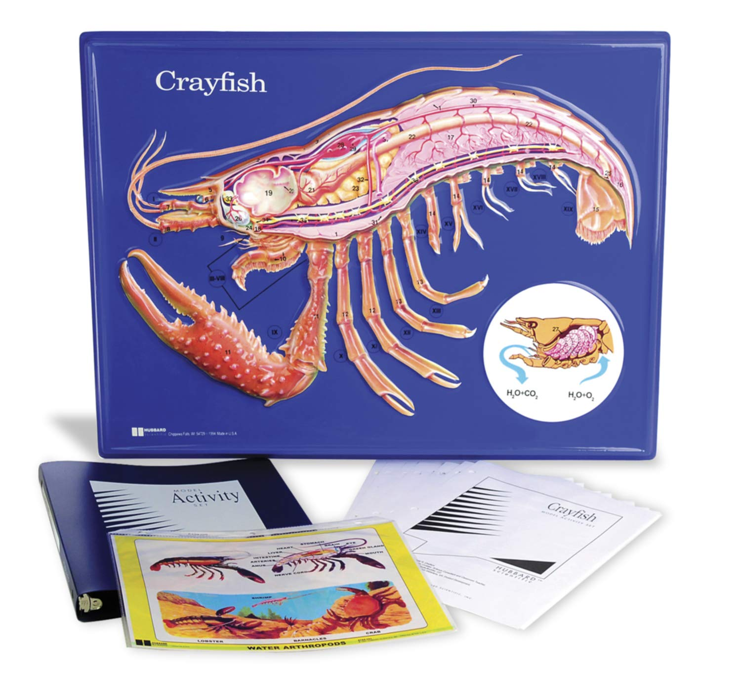 American Educational Crayfish Model Activity Set, 24'' Width x 18'' Height