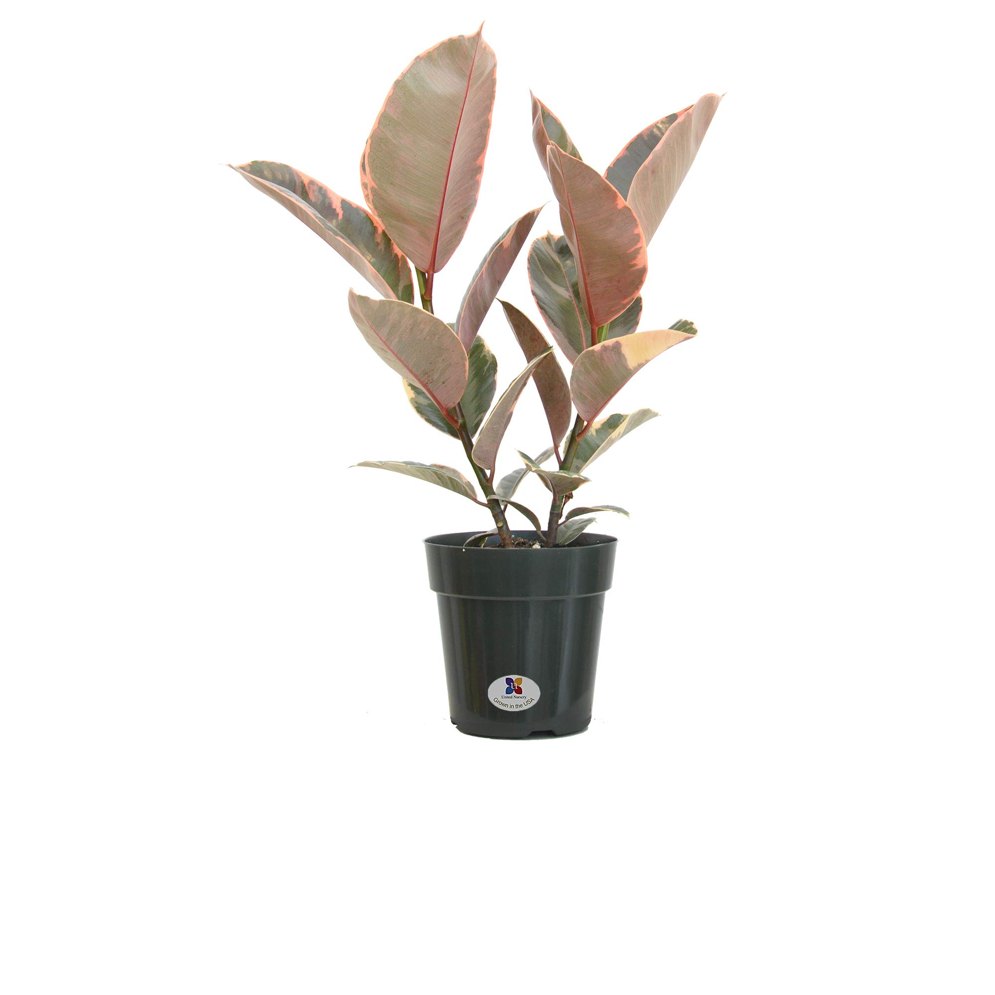 United Nursery Ficus Elastica Ruby Plant Live Rubber Tree Indoor Houseplant in 6'' Grower Pot Ships at 19-23 Inches (Green Grower Pot)