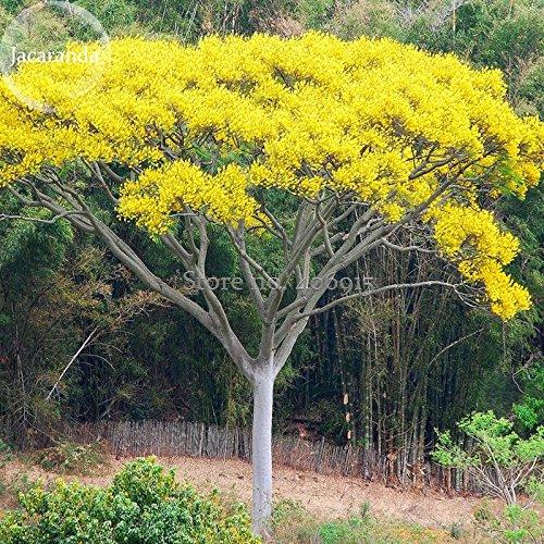 Pinkdose2018 Heißer Schizolobium parahyba Gelbe Jacaranda Riesen Brasilianischen Feuer Farn Baum, 2 Samen, Zier Baum E3955 Pinkdose®
