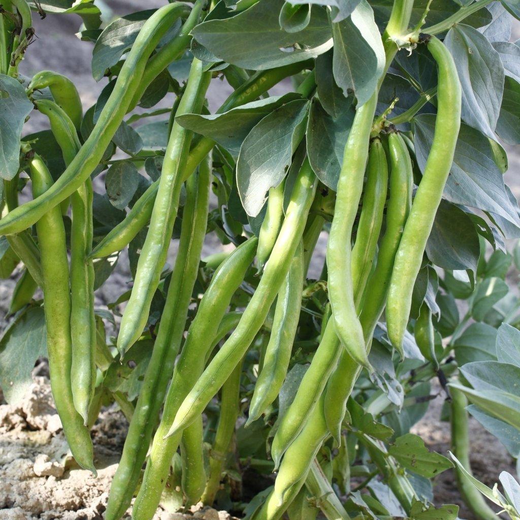 GROSEEDS - Vegetable Seeds, Broad Bean - Aquadulce Claudia, V-BRB-02, 55 Seeds Minimum Per Packet.