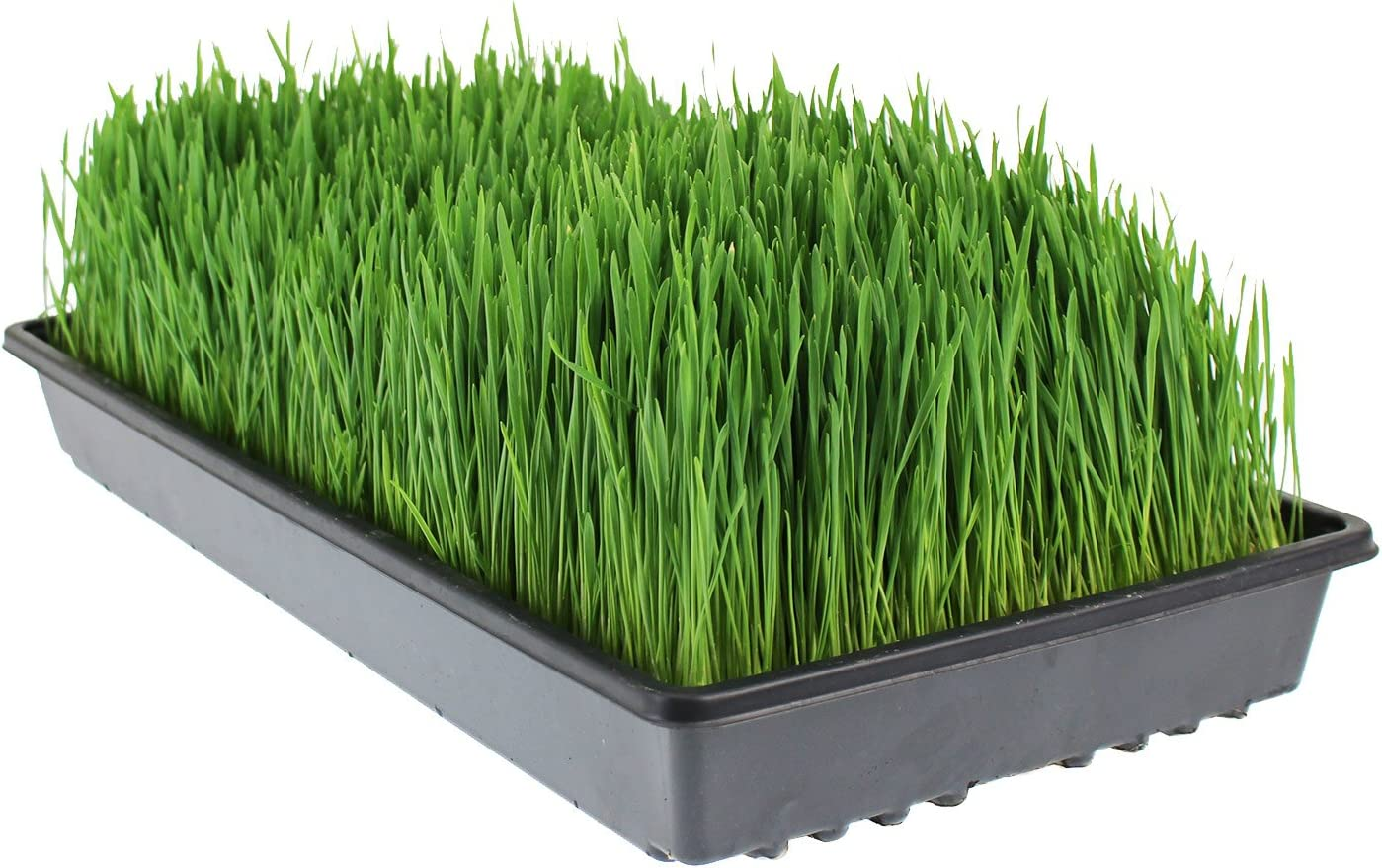 Hydroponic Non-GMO Easy /& Fast to Grow Wheat Grass at Home Organic Handy Pantry Wheatgrass Growing Kit