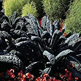 200 Heirloom Black Tuscan Kale Seeds (TOSCANA)by Stonysoil Seed Company