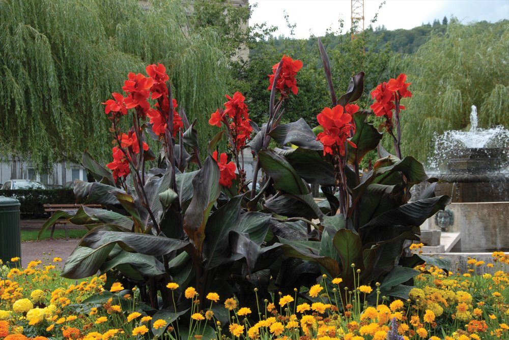 Van Zyverden Giant Black Knight Cannas Bulbs (Set of 6), Blackish by VAN ZYVERDEN (Image #1)