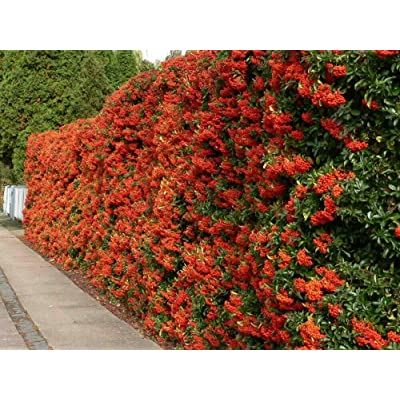 15 Seeds Scarlet Firethorn Pyracantha Coccinea Shrub Seeds for Planting OMC-RR : Garden & Outdoor