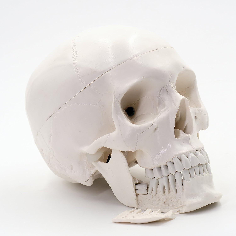 F9229 calcá rea a de 249 Dental crá neo –  Modelo con dientes extensibles para Anatomí a de clases, 3 piezas) 3piezas) Cranstein Scientific