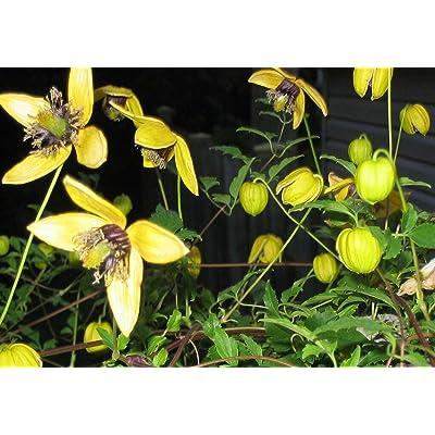 Clematis, Aztek Yellow, Perennial Vine, 15 Seeds, GroCo : Garden & Outdoor