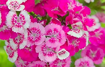Amazon rare pink dianthus flowers clownfish seeds rare pink dianthus flowers quotclownfishquot seeds seller pinterest favorite mightylinksfo