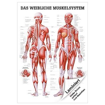 Weibliches Muskelsystem Lehrtafel Anatomie 100x70 cm medizinische ...
