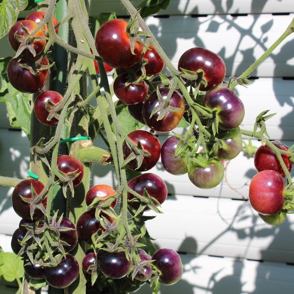 10 Samen Glosy Rose Blue Tomate – riesige Rispen, tolle Fruchtfarbe ...