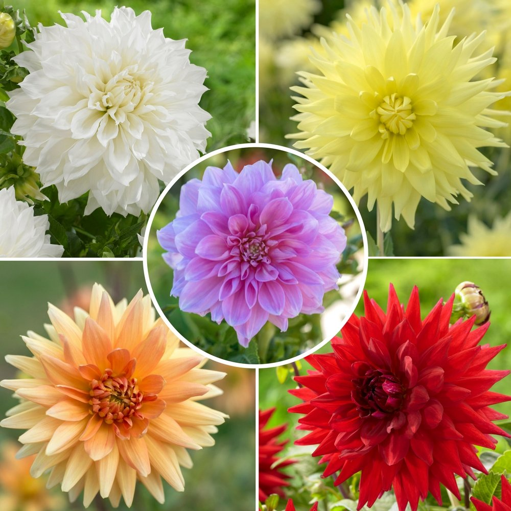 Amazon Dahlia Dinnerplate Tubers Tropical Collection 15