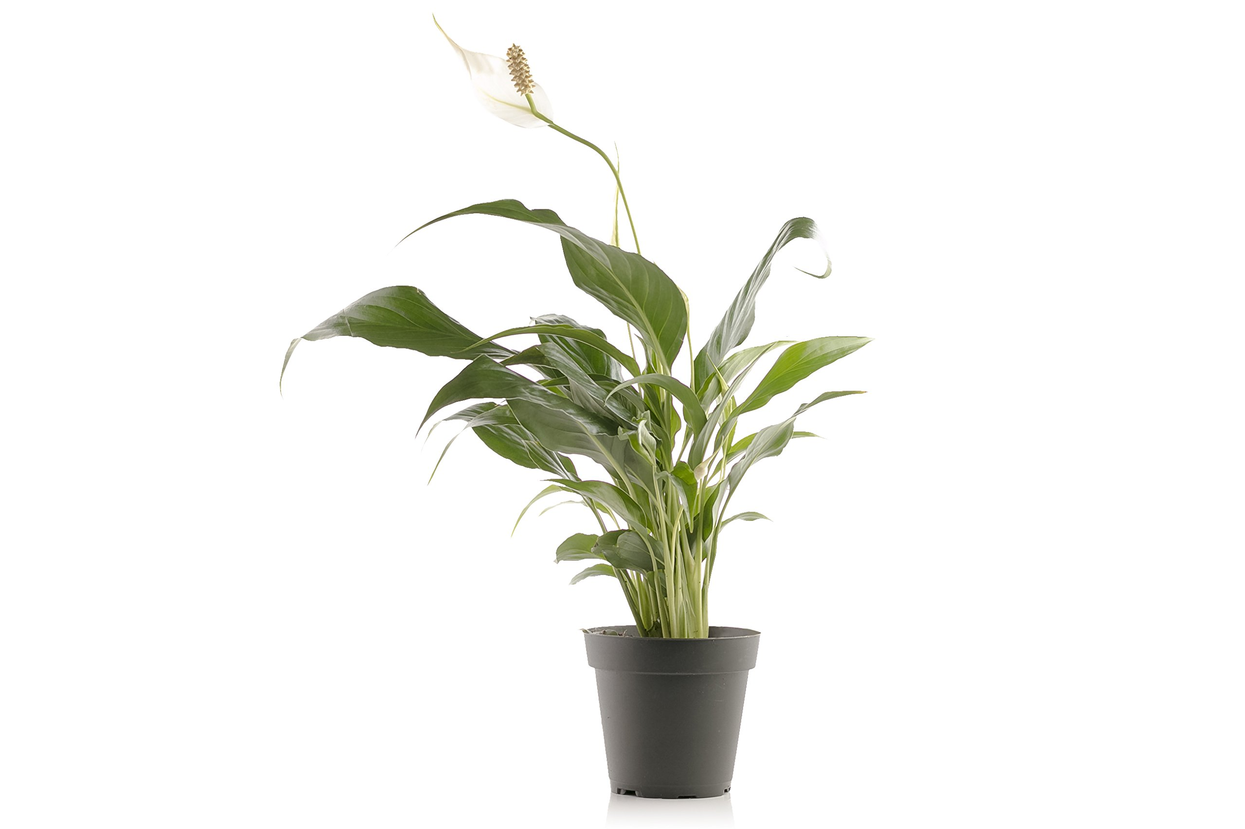 Set of 4 Indoor Plants - Live Potted Plants for Your Home or Office - Includes Red Aglaonema, Snake Plant, Philodendron, and Peace Lily - Great for Interior Decorating and Cleaning the Air by BDWS (Image #5)