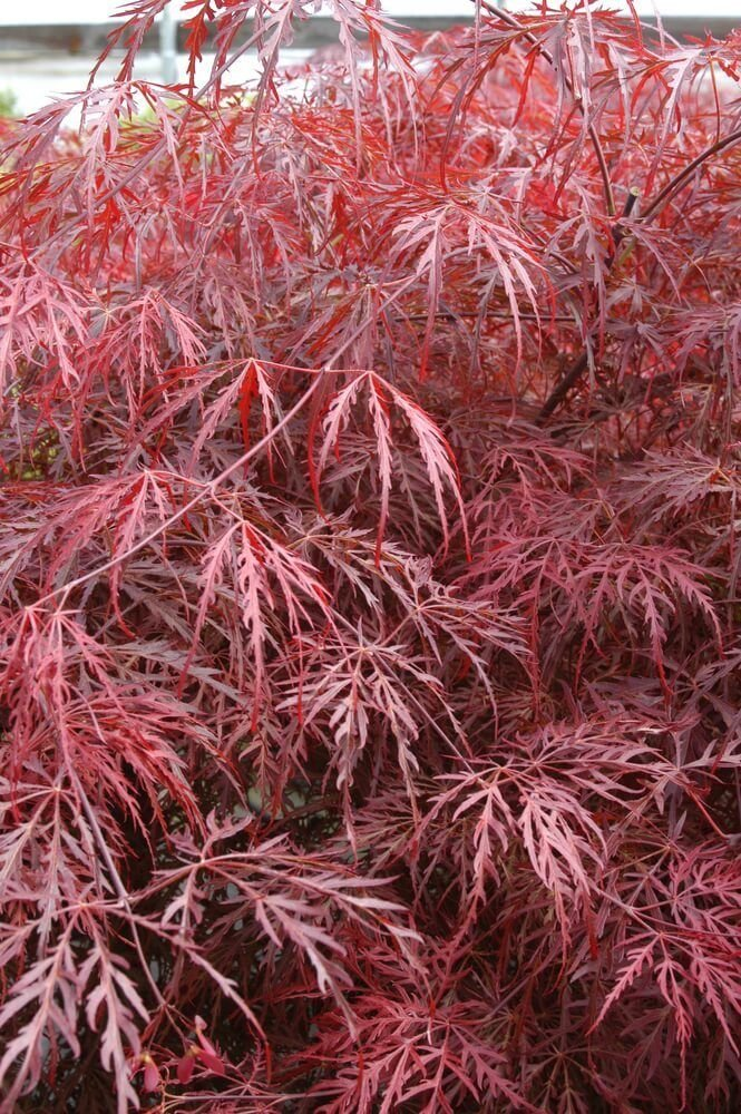 Japanese Maple 'Inaba Shidare' - Weeping red laceleaf. 3-4' tall live plant.