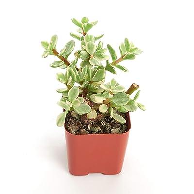 Shop Succulents Portulacaria Variegata 'Elephant Bush' 2In Plant : Garden & Outdoor