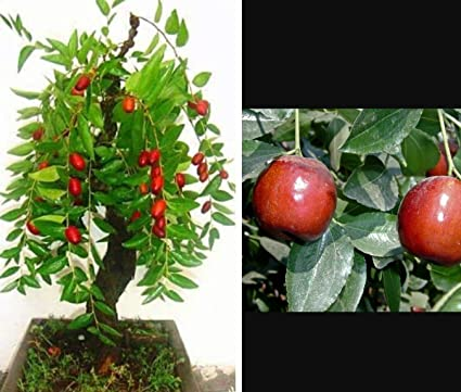 Amazon com : jujube Tree - Tropical Fruit Tree! Ideal for