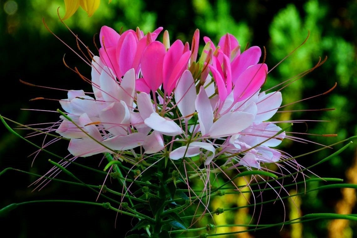 Amazon Rare Hot Pink White Spider Flower Cleome 25 Seeds