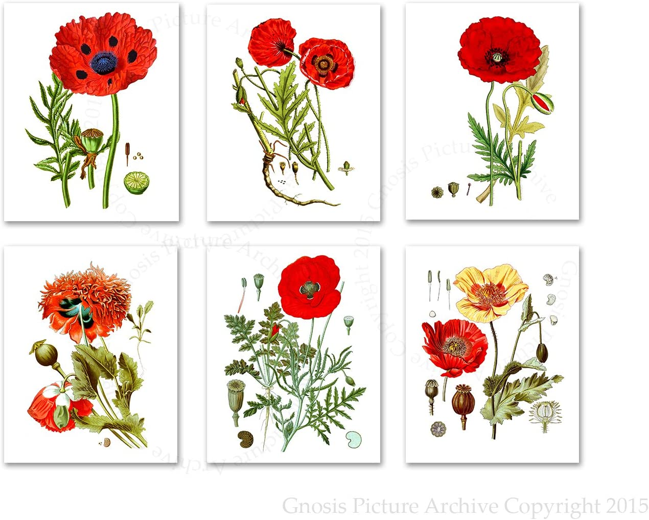 Amazon Com Gnosis Picture Archive Poppy Flowers Botanical Prints Set Of 6 Unframed Posters Red Wall Decor Living Room Decor Posters Prints