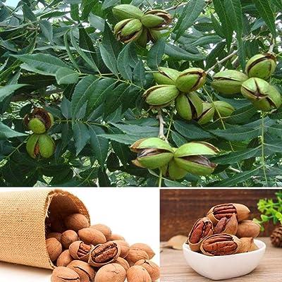 Flower Seeds, Plant Seeds, YESZ 5Pcs Carya Illinoensis Koch Seeds Pecan Nut Tree Garden Yard Subtropical Plant - Carya Illinoensis Koch Seeds : Garden & Outdoor