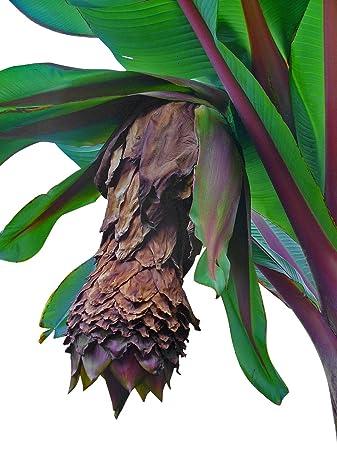 Ensete glaucum Schneebanane 10 Samen
