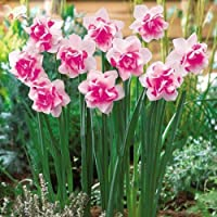 Soteer 100 Stück Narzisse Blumensamen Duftend Blumenzwiebel Saatgut für Barkon, Garten winterhart