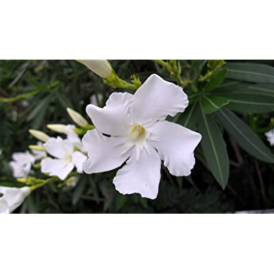 Oleander (single, white) aka Nerium oleander 'Sister Agnes' Live Plant Fit 5 Gallon Pot : Garden & Outdoor
