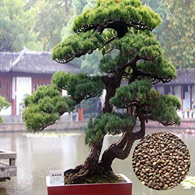 20 Pine Trunk Seed Suitable for Kids Or Gift Idea Deluxe Variety Decor Home High Germination Rate Ornamental Plants Non GMO Patio Decorative Garden: Garden & Outdoor