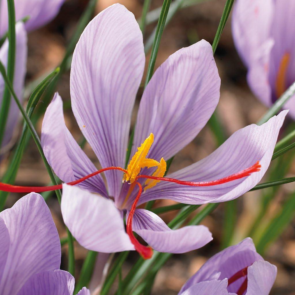 Van Zyverden Crocus Saffron Crocus Set of 15 Bulbs